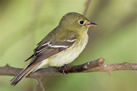 without crows acadian flycatcher facts behavior diet adaptations