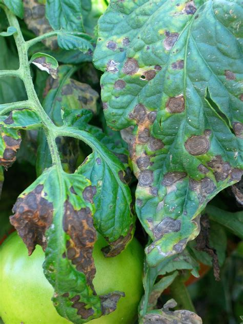 Early Blight In Tomatoes  Town And Country Gardens