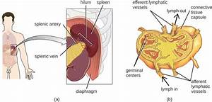 25 1  Anatomy Of The Circulatory And Lymphatic Systems