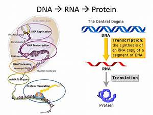 29 Dna Rna And Proteins Worksheet