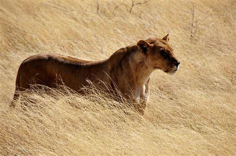 Löwe Löwin Wild · Kostenloses Foto Auf Pixabay