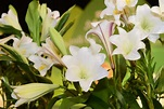 大古山野百合花季 體驗旅遊新一波幸福經濟學 | 桃園 | 鄭文燦 | 大紀元