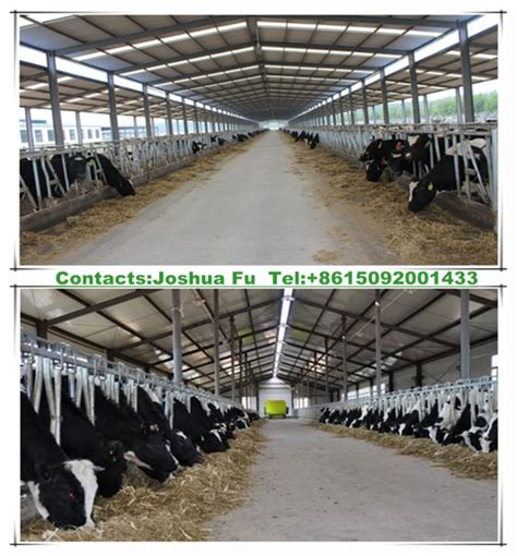 steel structure dairy cattle shed trunkey project design - Dairy Cow Shed Design