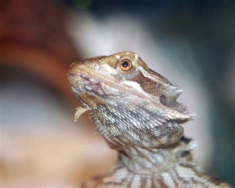 bearded dragon animal ark kingwood