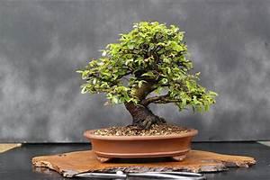 Bonsai Stecklinge Machen : how to start a bonsai tree the diy blog pinterest ~ Indierocktalk.com Haus und Dekorationen