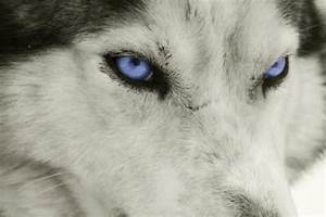white siberian husky wolf mix Quotes