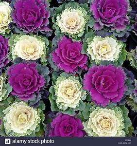Close up of Ornamental Cabbage/Flowering Cabbage (Brassica ...
