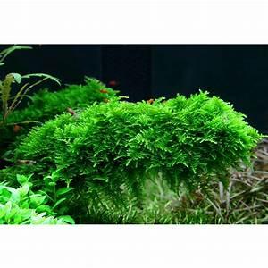 Moos Für Aquarium : vesicularia christmas moss weihnachtsbaummoos ~ Frokenaadalensverden.com Haus und Dekorationen