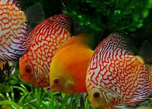 173 best discus fish images on Pinterest   Fish aquariums ...