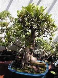 Comment Tailler Un Ficus : ficus retusa wikip dia ~ Melissatoandfro.com Idées de Décoration