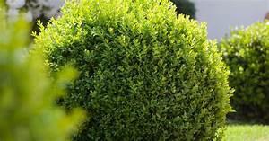 Buchsbaum Rund Schneiden : buchsbaum pflanzen pflege und tipps mein sch ner garten ~ Frokenaadalensverden.com Haus und Dekorationen