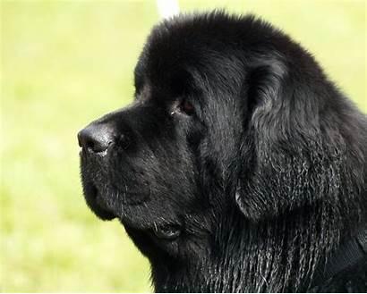 Newfoundland Dog Dogs Breeds Pet Newfie Newfies