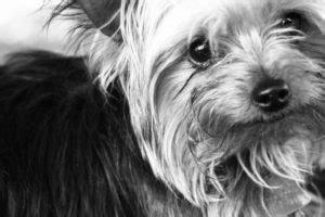 yorkshire terrier rasse anschaffung pflege und hundefutter