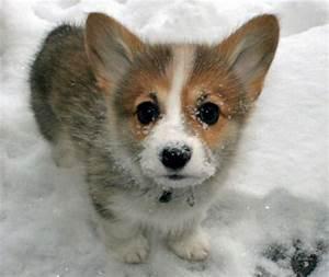 Welsh Corgi Puppy: Meet The Cutest Animal Ever