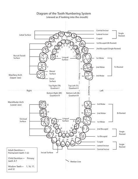 Tooth Diagram Chart by Diagram Of The Tooth Numbering System Homeschool