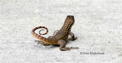 tailed lizard ann brokelman photography curly tailed lizard and common yellowthroat warbler