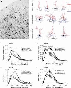 Dendritic Length In Motor Cortex Layer 2  3 Pyramidal Cells