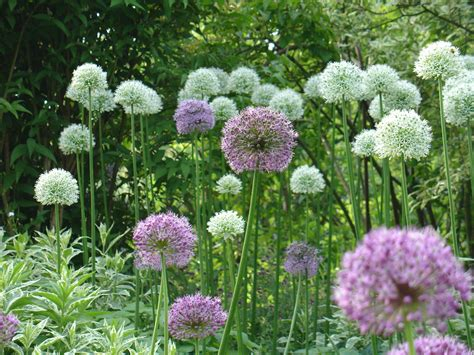 pictures of alliums 1000 images about allium on pinterest bulbs allium flowers and idaho