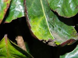 Stockrosen Blätter Haben Löcher : wei e u braune flecken l cher gelbe bl tter etc an ~ Lizthompson.info Haus und Dekorationen