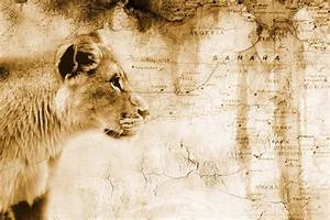 Lion In Front Of An Old Map Of Africa PacificStock Canvas