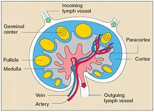 Medulla of lymph node - Definition, Anatomy and Pictures