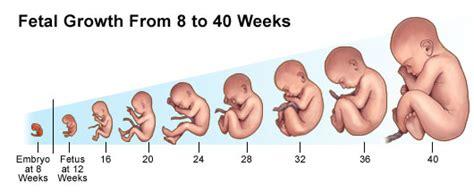 Janin 8 Bulan Dalam Kandungan Dog Fetus Stages