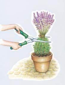 Lavendel Wann Schneiden : lavendel richtig schneiden pflanzen pinterest garden herb garden und lavender ~ One.caynefoto.club Haus und Dekorationen