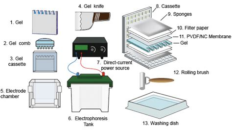 Western Blot Cassette by The Basis Of Western Blot Creative Diagnostics