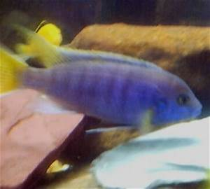 cichlids.com: Purple Stripe Yellow Fin Something-101 0118