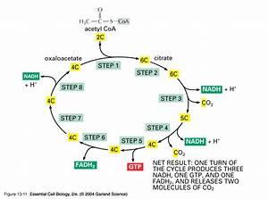 8 1 Aerobic Respiration  Link Reaction  U0026 Krebs Cycle