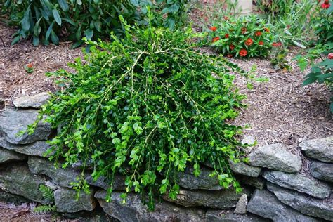 Buy Buxus sempervirens 'Unraveled' Dwarf Weeping Boxwood