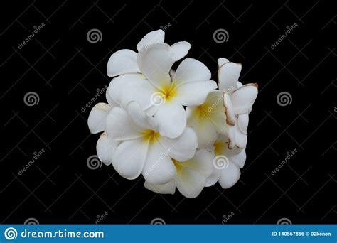 Consegna fiori bianchi a domicilio: Inflorescenza Dei Fiori Bianchi, Petali Bianchi Con Un Centro Giallo, Fondo Isolato E Nero ...