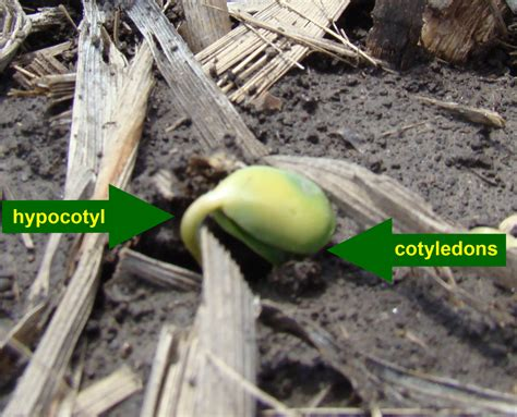 what is a cotyledon hypocotyl