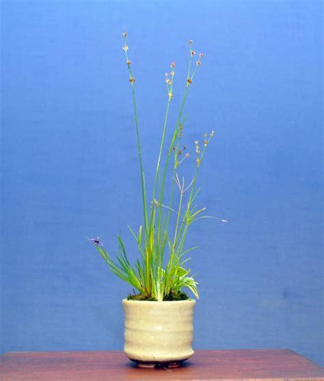 kusamono juncus papyrus hostasisyrinchium kusamono kokedama nearai shitakusa wabikusa