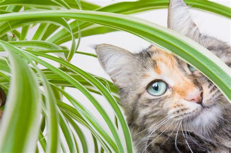 are snake plants toxic to cats
