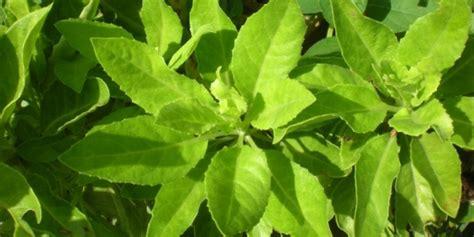 jenis tanaman pagar  halaman rumah rooangcom