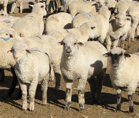 feeding barley  sheep publications