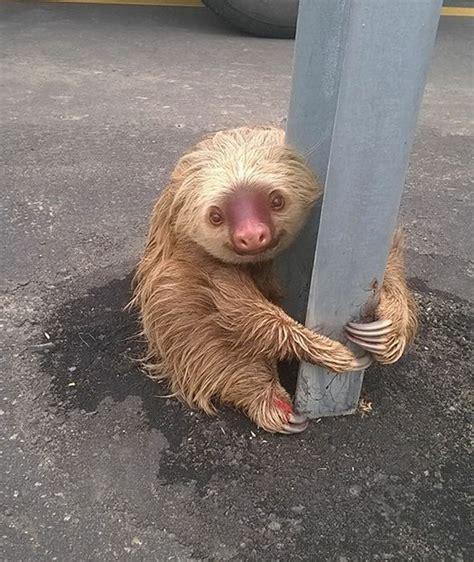 terrified sloth clings  pole    stuck