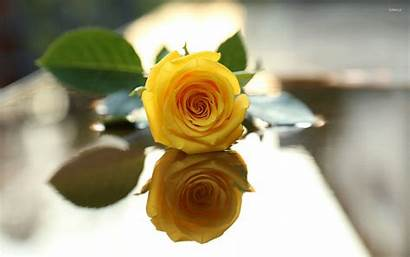 Yellow Rose Wallpapers Flowers Flower Backgrounds Amarilla