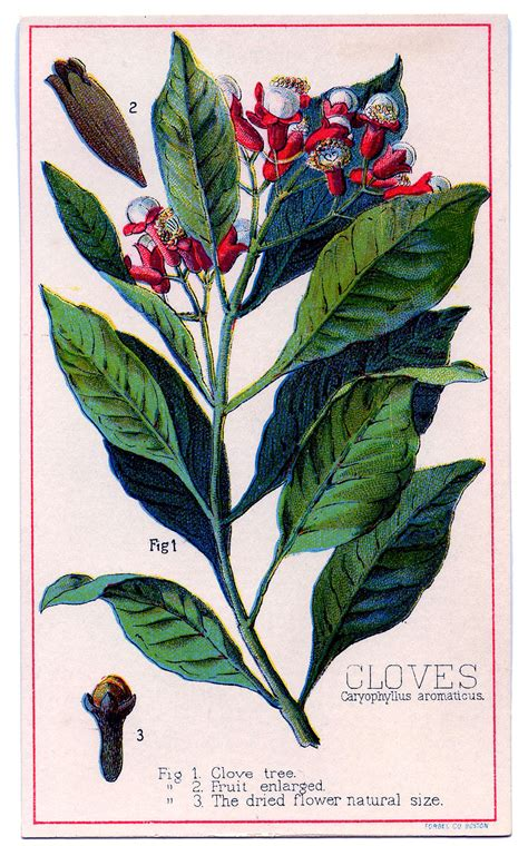 vintage graphic wonderful clove plant  graphics fairy
