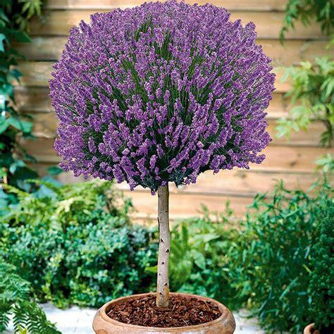 Und Lavendel by Duft Lavendel Auf Stamm Kaufen Bei Ahrens Sieberz