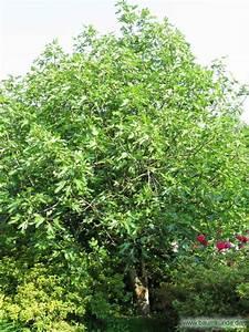 Feigenbaum Im Garten : echter feigenbaum ficus carica habitus bestimmen echter feigenbaum ~ Orissabook.com Haus und Dekorationen