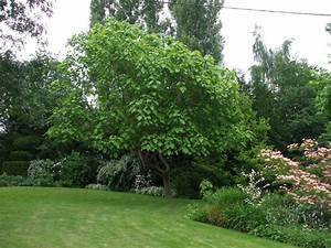 Arbre Ombre Croissance Rapide : catalpa bignonioides rn catalpa commun arbre ~ Premium-room.com Idées de Décoration