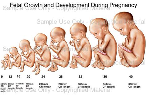 Janin Embrio Fetal Growth And Development During Pregnancy