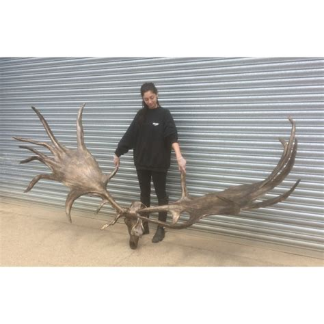 irish elk antlers for sale