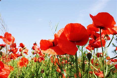 poppy flower fine art print red poppy field bright