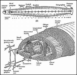 Image Gallery hirudo medicinalis external anatomy