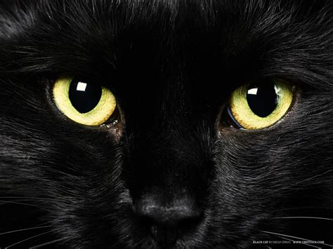Animals Zoo Park Black Cat Eyes Wallpapers Blue Cat Eyes