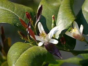 Zitronenbaum Gelbe Blätter : 17 best ideas about zitronenbaum on pinterest zitronen ~ Lizthompson.info Haus und Dekorationen