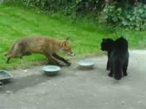 is a fox a or cat cat vs fox an cat i gcoinne an tsionnaigh katze gegen